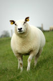 Pecore in un prato Immagini Stock Libere da Diritti
