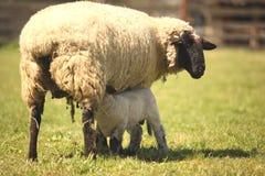 Pecore in un prato Pecore d'alimentazione del bambino Immagine Stock