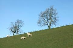 Pecore in un prato verde Immagini Stock