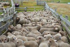 Pecore in un recinto per bestiame Fotografie Stock