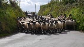 Pecore in un vicolo del paese in Inghilterra Fotografia Stock