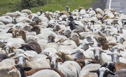 Pecore in una campagna dell'Armenia Fotografia Stock