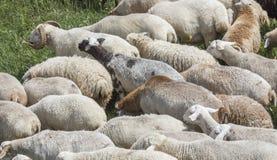 Pecore in una campagna dell'Armenia Immagini Stock
