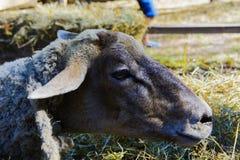 Pecore in una penna alla fiera Fotografie Stock Libere da Diritti