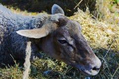 Pecore in una penna alla fiera Fotografia Stock