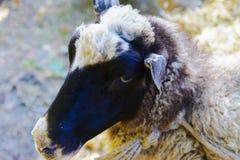 Pecore in una penna alla fiera Immagini Stock Libere da Diritti