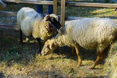 Pecore in una penna alla fiera Fotografia Stock Libera da Diritti