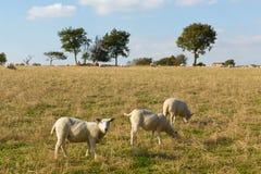 Pecore in una vista BRITANNICA orientale della campagna di Devon England delle colline di Blackdown del campo in questa area ingl Immagini Stock