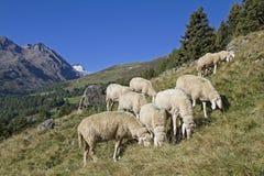 Pecore in valle di Oetztal Immagini Stock
