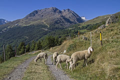 Pecore in valle di Oetztal Fotografie Stock Libere da Diritti