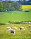 Pecore in valle vicino a Stonehenge nel Wiltshire nel Regno Unito Fotografia Stock Libera da Diritti
