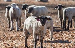 Pecore variopinte in un pascolo che mangiano le cipolle Immagine Stock