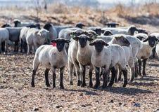 Pecore variopinte in un pascolo che mangiano le cipolle Fotografie Stock Libere da Diritti