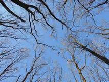Pecore vecchie degli alberi di autunno con le foglie cadute Fotografia Stock
