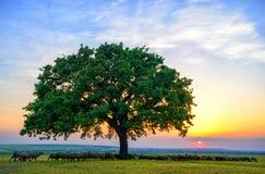 Pecore vicino ad una vecchia quercia nel tramonto e nel cielo Fotografia Stock