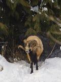 Pecore vicino agli alberi Fotografie Stock Libere da Diritti