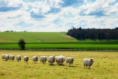 Pecore vicino al paesaggio Inghilterra di Stonehenge Immagine Stock