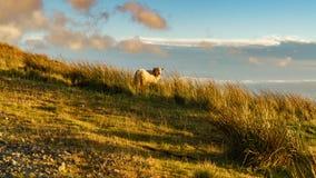 Pecore vicino a Treorchy, trascurante la valle di Ogmore, Rhondda Cynon Taf, Mid Glamorgan, Galles, Regno Unito immagine stock libera da diritti