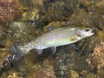 Pecos River Rainbow. Photo of rainbow trout caught in the Pecos river of New Mexico royalty free stock photo