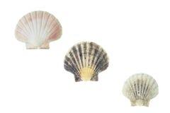 Pecten jacobaeus marine bivalve mollusc shell Stock Photography