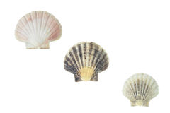 Pecten jacobaeus marine bivalve mollusc shell. Pecten jacobaeus isolated over white with clipping path Stock Photography