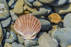 Pecten shell on rock Royalty Free Stock Photos