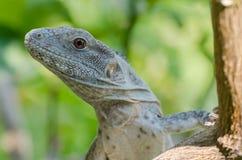 Pectinata Ctenosaura стоковое изображение