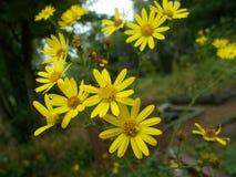 Pectinatus di Euryops, margherita gialla di Bush Immagini Stock