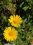 Pectinatus di Euryops o margherita sudafricana fotografia stock libera da diritti