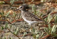 Pectoral Sandpiper Calidris melanotos. A handsome bird with brownish pattern on body and maked contrast to white breast,Taken on the sandy beach in Ecuador Royalty Free Stock Image