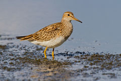 Pectoral Sandpiper (Calidris melanotos) Stock Photo