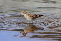 Pectoral Sandpiper (Calidris melanotos) Royalty Free Stock Photography