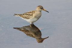 Pectoral Sandpiper (Calidris melanotos). By the Pacific Ocean Stock Photography
