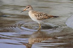 Pectoral Sandpiper (Calidris melanotos) Royalty Free Stock Images