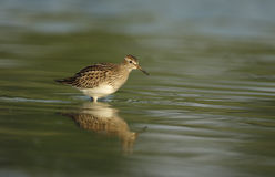 Pectoral sandpiper, Calidris melanotos, Royalty Free Stock Photography