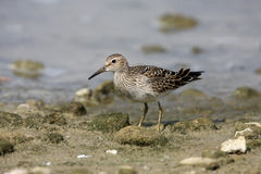 Pectoral sandpiper, Calidris melanotos Royalty Free Stock Images