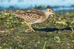 Pectoral Sandpiper Stock Photography