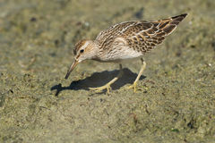 Pectoral Sandpiper Stock Photos