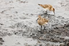 Pectoral sandpiper Royalty Free Stock Photos