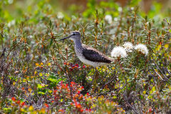 Pectoral Sandpiper in taimyr tundra Royalty Free Stock Image