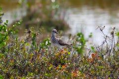 Pectoral Sandpiper in taimyr tundra Stock Photo