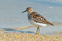 Pectoral Sandpiper. Walking along shoreline Stock Photo