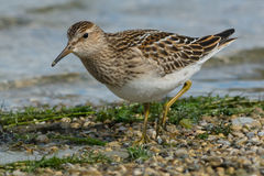 Pectoral Sandpiper Royalty Free Stock Image