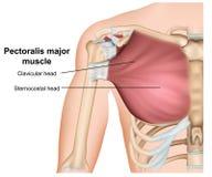 Pectoralis - anatomia principal do músculo do peito, ilustração médica do vetor 3d no fundo branco ilustração royalty free