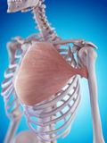 The pectoralis major Stock Photos