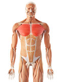 The pectoralis major Royalty Free Stock Photo