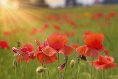Ped λουλούδια παπαρουνών Στοκ Φωτογραφία