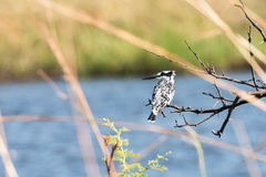 Ped Kingfisher against water. Pied Kingfisher (Ceryle rudis) perched above river edge at Mudumu National Park, Namibia, November Royalty Free Stock Photo