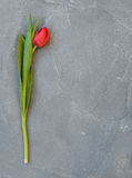 Ped spring tulip on a grey concrete stone background, top view, copy space. Royalty Free Stock Image