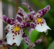 Pedais de florescência indicados orgulhosamente de um jardim isolado Imagem de Stock